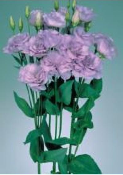 Еустома Echo Dream Lavender