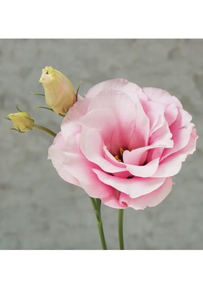 Еустома насіння  Mariachi®  Pink