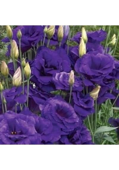 Еустома насіння  Echo Blue
