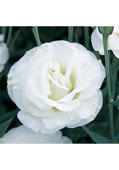 Еустома насіння  FLARE  WHITE