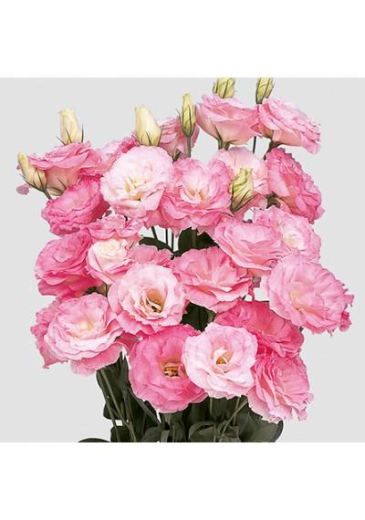 Еустома насіння  Mariachi®  Pink Picotee