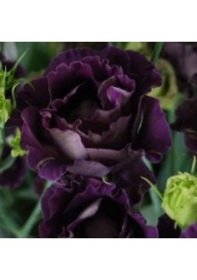 Еустома насіння  Echo Purple