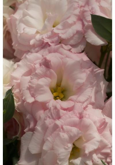 Еустома насіння  Mariachi®  Misty Pink