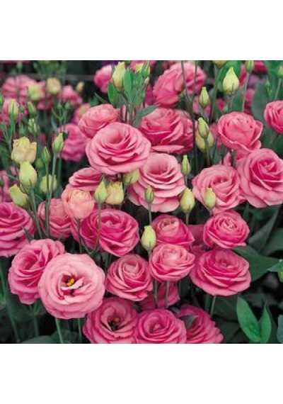 Еустома насіння  Echo Pink