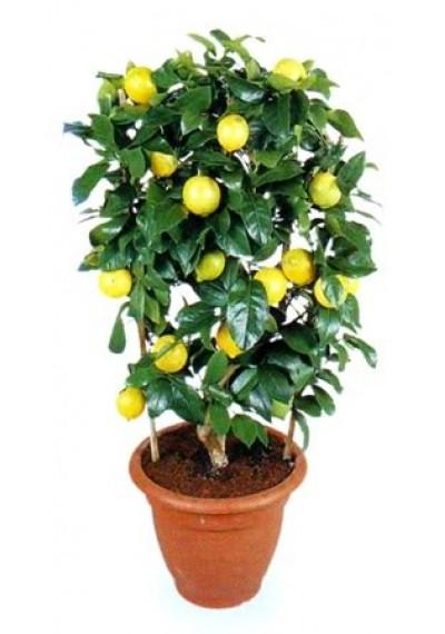 Лимон 1 рік