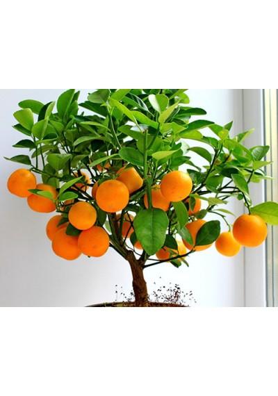 Апельсин 1 рік