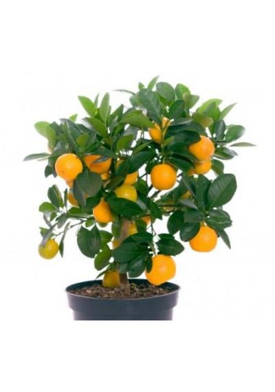 Апельсин 2 роки