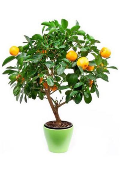 Апельсин 6 міс