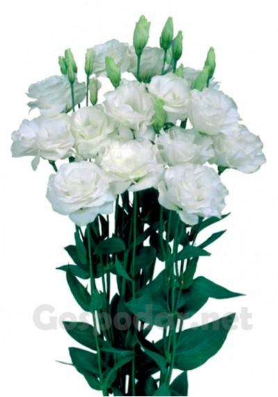 Еустома Mariachi Pure White