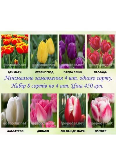 Набори  цибулин 12+ голандських тюльпанів