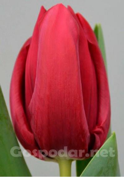 Тюльпан Бізар