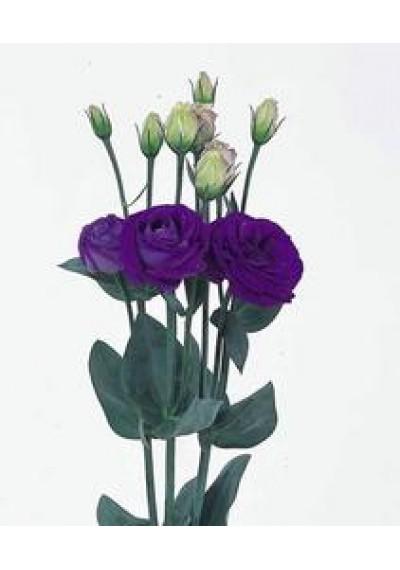 Еустома Rosita 2 Blue