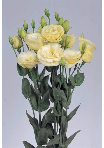 Еустома Borealis Yellow