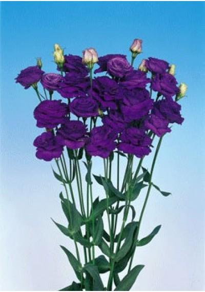 Еустома Rosita 1 Blue