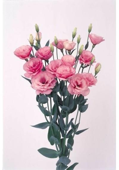 Еустома Borealis Pink