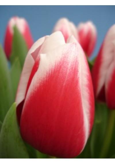Тюльпан Аннамарія