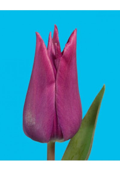 Тюльпан Асуан