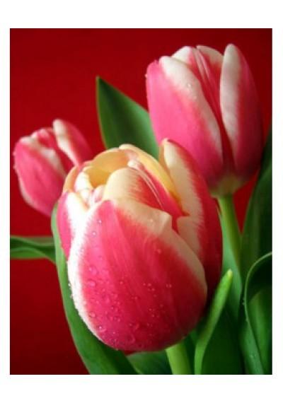 Тюльпан Бангкок