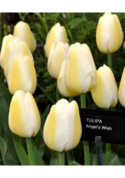 Тюльпан Ангел Віш