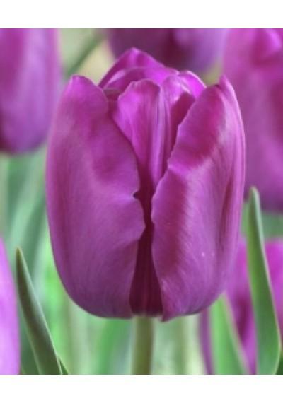 Тюльпан Мілка