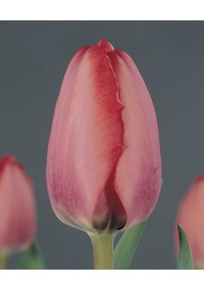 Тюльпан Ніігата