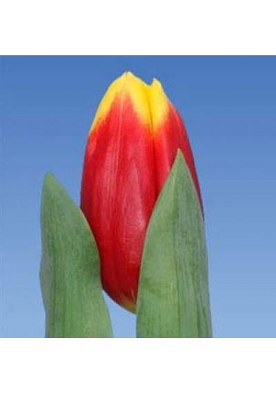Тюльпан Раша