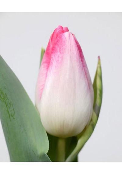 Тюльпан Синфонія