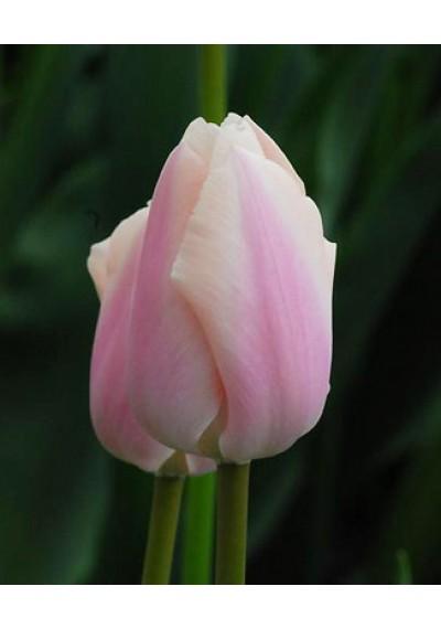 Тюльпан Тайтс Бутс