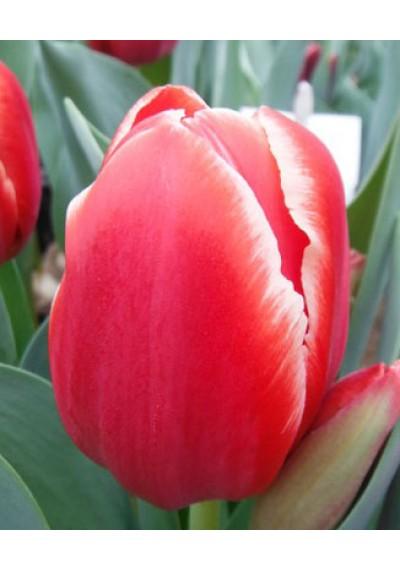 Тюльпан Тірана