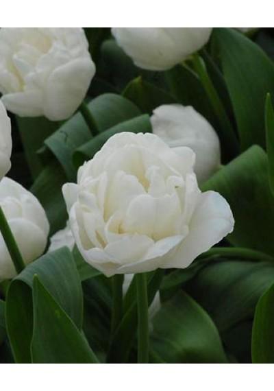 Тюльпан Вайт Харт (роздріб)